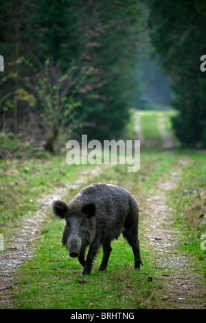 Wild boar (Sus scrofa) on path / fire lane / firebreak in forest, Germany - Stock Photo