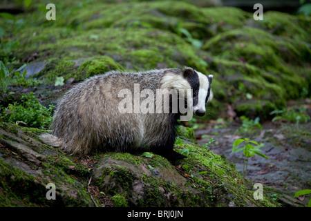 European badger (Meles meles) on rock in forest, Sweden - Stock Photo