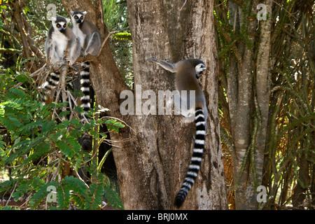 Ring-tailed lemurs, Madagascar - Stock Photo