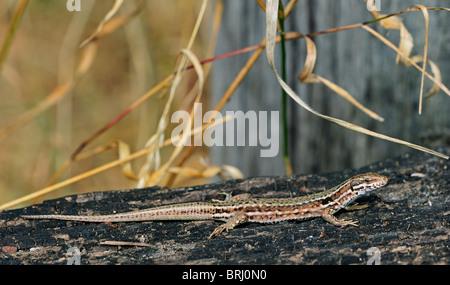 Common wall lizard (Podarcis / Lacerta muralis) sunning on burned wood - Stock Photo