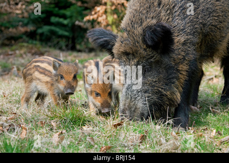 Wild boar (Sus scrofa) sow with piglets foraging in forest in spring, Germany - Stock Photo