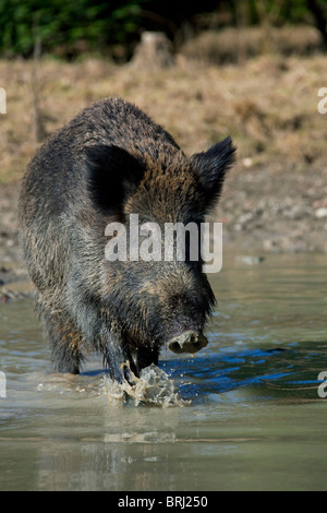 Wild boar (Sus scrofa) standing in pool, Germany - Stock Photo