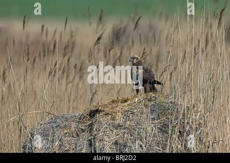 Marsh harrier (Circus aeruginosus) female at nest in reedbed, Austria - Stock Photo