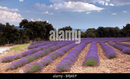 Lavender fields of the Salagon priory - Stock Photo