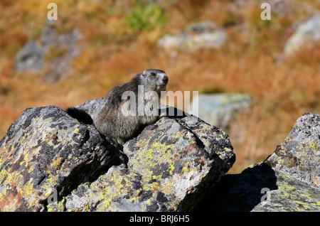 Alpine Marmot - marmota marmota - Stock Photo