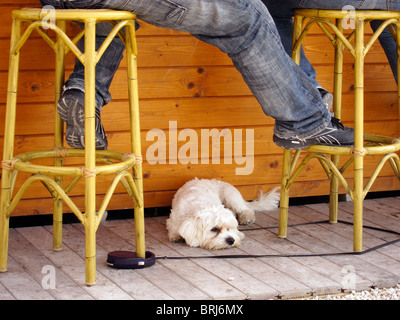 A small white terrier dog sits on the floor of a bar with it's owners, Javea, Spain - Stock Photo