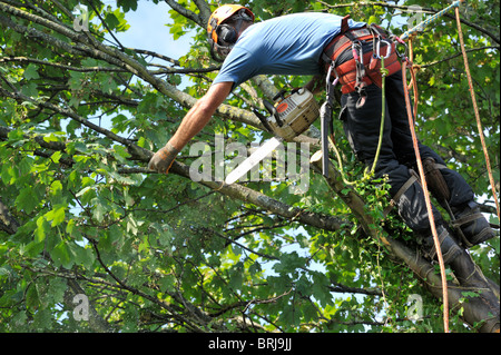 'Tree surgeon' with chainsaw and safety gear in sycamore tree cutting branch - Stock Photo