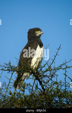 Black-breasted snake eagle (black-chested harrier eagle), Masai Mara, Kenya - Stock Photo