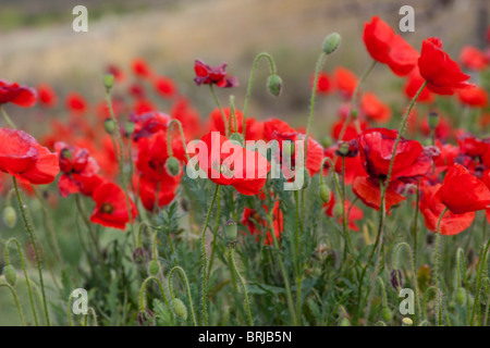 flower colourful colorful red poppy wildflowers  wild - Stock Photo