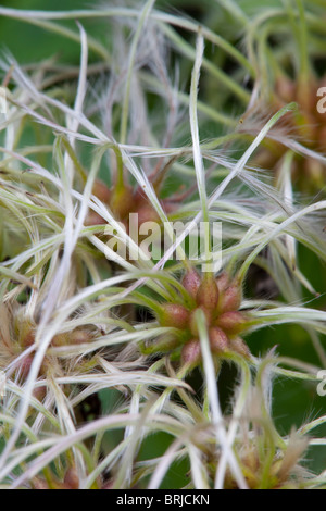 Wild Clematis; Clematis vitalba; old man's beard; or traveler's joy - Stock Photo