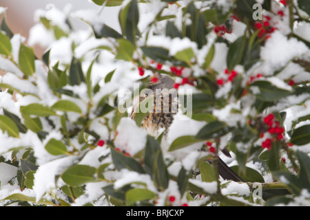 Fieldfare; Turdus pilaris; in a snow covered holly tree - Stock Photo