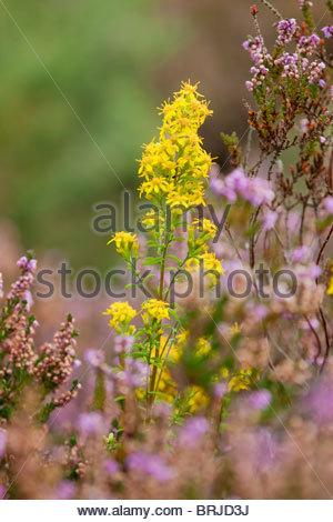 Goldenrod; Solidago virgaurea; with heather; Cornwall - Stock Photo