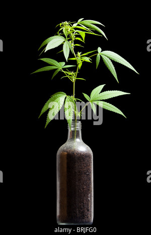 Cannabis sativa plant growing out from a bottle; a metaphor for prohibition - Stock Photo
