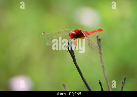Red dragonfly sitting on a stick