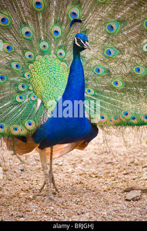 Henry Doorly Zoo - Peacock at Petting Zoo