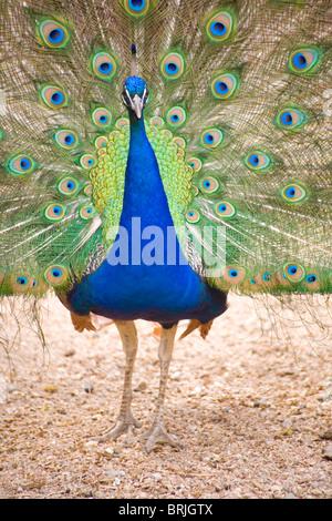 Henry Doorly Zoo - Peacock at Petting Zoo - Stock Photo
