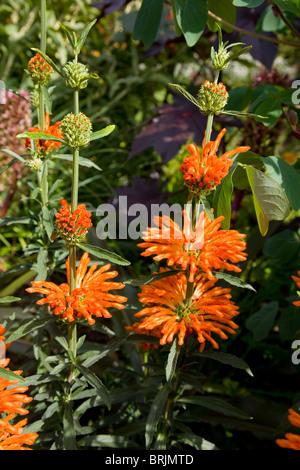 Leonotis leonurus (Lamiaceae), simetimes called Lion's Tail or Lion's Ear or Wild Dagga - Stock Photo