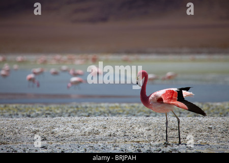 James flamingos on a laguna in the remote region of high desert, altiplano and volcanoes near Tapaquilcha, Bolivia - Stock Photo