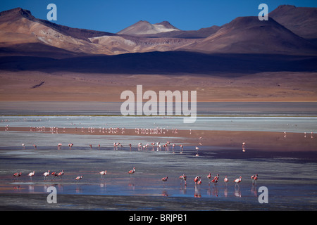 James flamingos on Laguna Colorada, Eduardo Avaroa Andean Fauna National Reserve, Bolivia