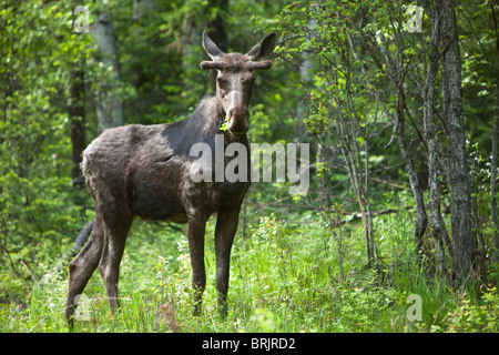 A bull moose stands in a lush forest in Idaho. - Stock Photo