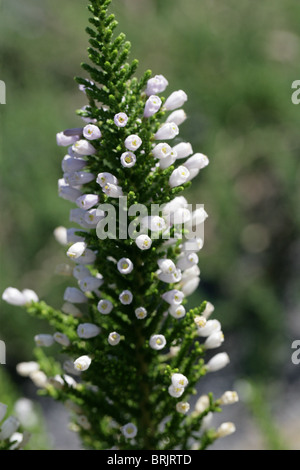 False Heath, Pichi or Pichi Pichi, Fabiana imbricata, Solanaceae, Southern South America. Aka Peta and Romero. - Stock Photo