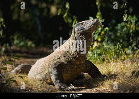 Varanus komodoensis. - Stock Photo