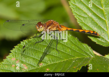 Cherry-faced Meadowhawk (Sympetrum internum) Dragonfly - Juvenile Male - Stock Photo