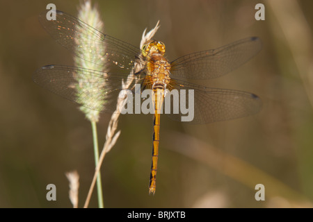 Cherry-faced Meadowhawk (Sympetrum internum) Dragonfly - Teneral Female - Stock Photo