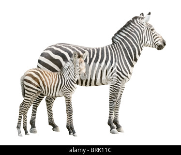 Zebra and ten days old foal isolated on white background - Stock Photo