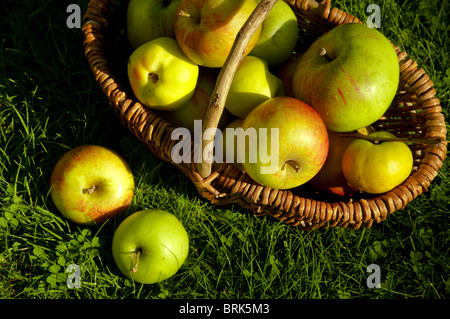 Autumn fruits in a basket bathed in autumn sunshine - Bramley apples, Quince, Coxes Orange Pippins. UK - Stock Photo
