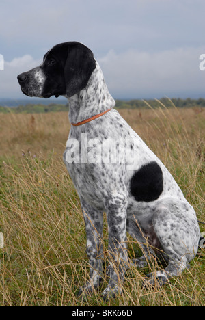 Young black and white English pointer bitch in the sit ...