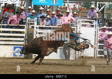 Rodeo Alberta Canada Bull Riding In The Chute Stock
