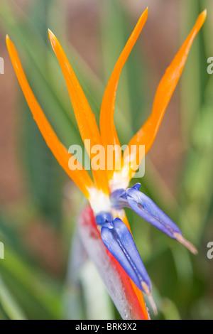 Strelitzia reginae flowers - Stock Photo