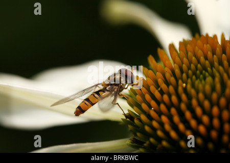 Macro of a Hover Fly (Volucella bombylans) on a white Echinacea purpurea coneflower - Stock Photo
