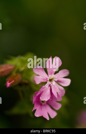 Red Campion.  Photo by Gordon Scammell - Stock Photo