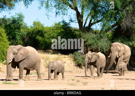 Desert adapted elephants (Loxodonta africana), moving along the dried out Huab river bed in Damaraland, Namibia. - Stock Photo