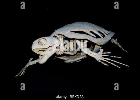 Turtle skeleton - Stock Photo