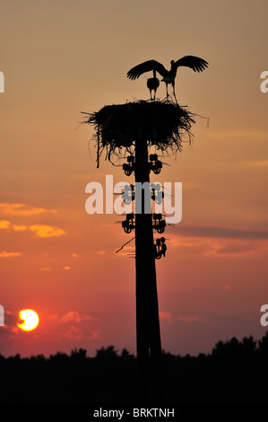 Storks stork in the Biebrza River Reservation in Podlasie Region, Poland - Stock Photo