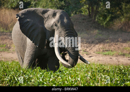 Elephant bull standing in a watering hole feeding on water hyacinth - Stock Photo