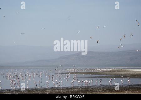 Massive flock of Lesser flamingos feeding in lake Nakuru, some in flight overhead - Stock Photo