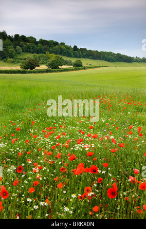 Wild poppies and daisies flowering in countryside near West Dean, Wiltshire, England. Summer (June) 2010. - Stock Photo