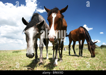 Low angle view of young horses grazing in a field - Stock Photo