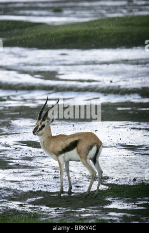 Thompson's gazelle standing in the rain looking over its shoulder - Stock Photo
