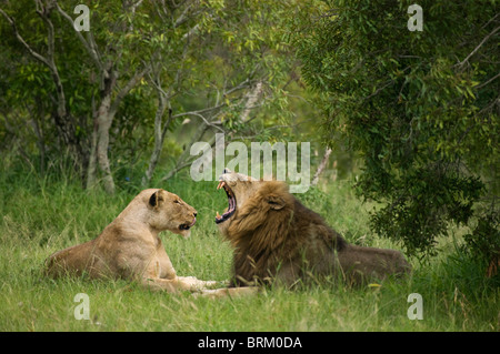 A male lion yawning while resting with a lioness in dense bushveld - Stock Photo