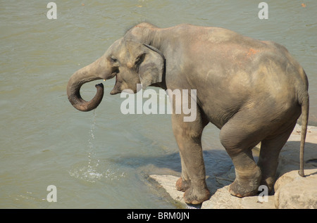 A single elephant takes a drink from a river - Stock Photo