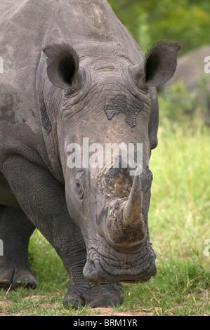A portrait of a Rhino grazing
