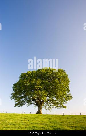 Single tree against a blue sky, Mid Devon, England. Summer (June) 2009. - Stock Photo