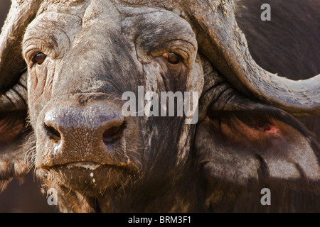 Tight portrait of an old Cape Buffalo bull - Stock Photo