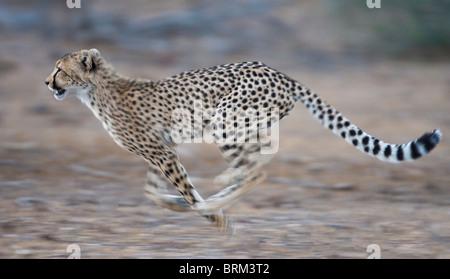 Cheetah Running Stock ...
