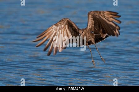Hamerkop in flight - Stock Photo